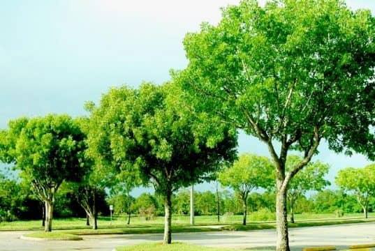 mahogany-tree-picture